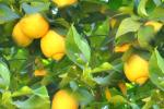 01-lemon-tree-background