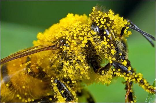 http://rawinspirations.files.wordpress.com/2009/02/bee-with-pollen.jpg