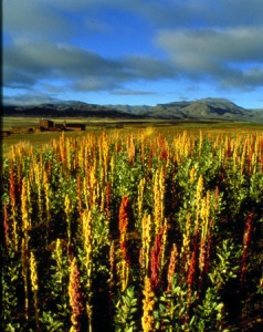 quinoa-cultivation
